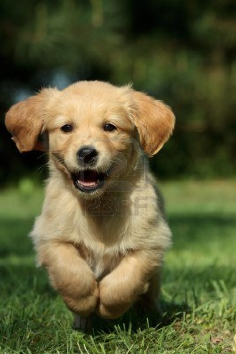 golden retriever the trusted and advantageous pet for human beings essay